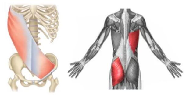 Transmissão de força entre músculos e fáscias<